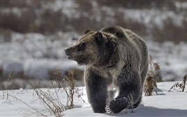 Brown bear walk in the snow