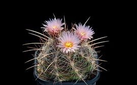 Cactus, pink flowers bloom, needles