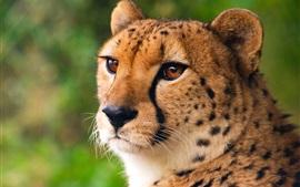 Guépard, chat sauvage, visage, yeux