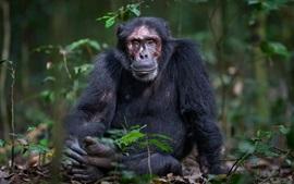 Chimpancé, mono, sentarse en el suelo