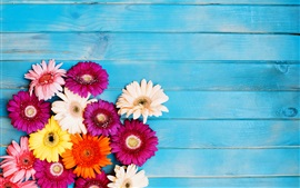 Colorful gerbera flowers, blue background