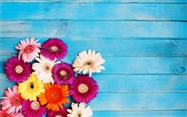 Flores coloridas gerbera, fundo azul