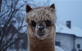 Cute alpaca look, face