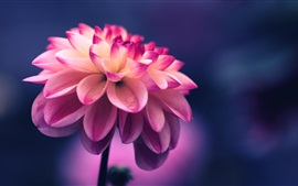 Preview wallpaper Dahlia, pink petals, water drops, bokeh