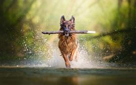 壁紙のプレビュー 水中で走っている犬のキャッチスティック