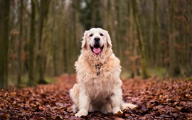 Preview wallpaper Dog sit on ground, red leaves, autumn