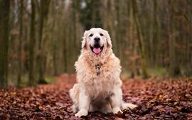 Cão sente-se no chão, folhas vermelhas, outono