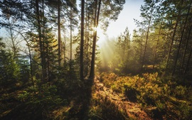 Forest, trees, glare sun rays