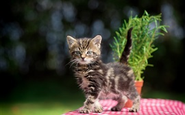 Furry kitten, table