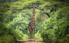 Preview wallpaper Giraffe, trees, Africa