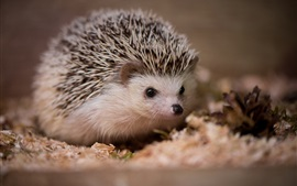 Preview wallpaper Hedgehog, autumn