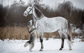 Husky dog and white horse, friendship, snow, winter