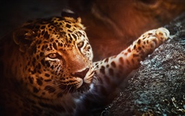 Leopard, face, paw, look