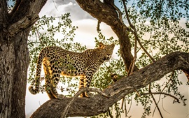 Preview wallpaper Leopard, predator, tree