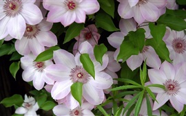 Preview wallpaper Light pink clematis flowers