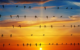 Preview wallpaper Many swallows stand on wires, sunset