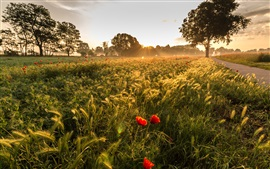 Matin, herbe, coquelicots, arbres, rayons de soleil