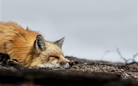 Preview wallpaper One fox sleep on ground