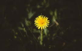 Preview wallpaper One yellow dandelion flower