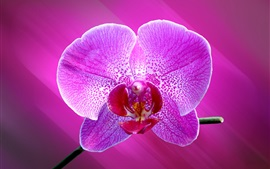 Preview wallpaper Phalaenopsis, one purple flower macro photography