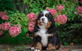 Pink flowers, hydrangea, puppy front view