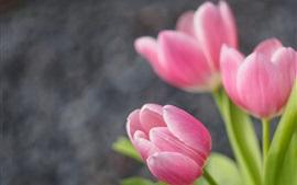 Pink tulips, green leaves, bokeh