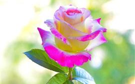 Pétalas amarelas rosa flor rosa