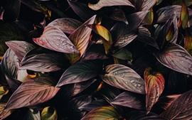 Folhas de plantas roxas, gotas de água