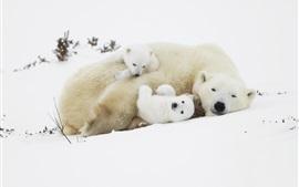 壁紙のプレビュー ポーラークマ、子牛、雪の中で眠る
