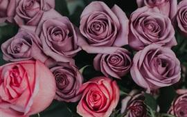 預覽桌布 紫色和粉紅色的玫瑰