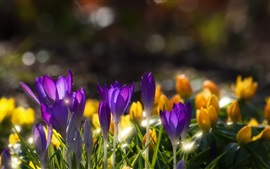 Purple crocuses, water drops, spring, blurry background