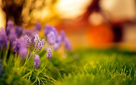 미리보기 배경 화면 보라색 작은 꽃, 푸른 잔디