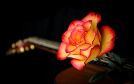 Red-orange rose