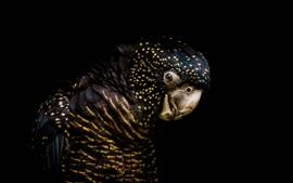 Cacatua-negra-de-cauda-vermelha, escuridão