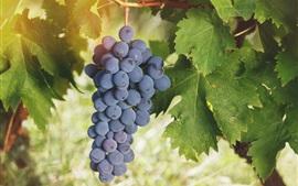 Uvas maduras, frutas, folhas verdes