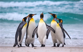 Royal penguins, sea