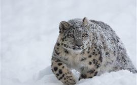 Preview wallpaper Snow Leopard, snow, winter