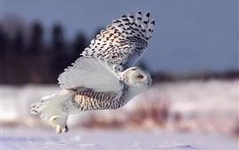 Snowy Owl, vuelo, alas, ojos