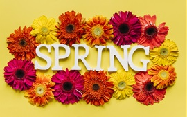 Primavera, crisantemo colorido