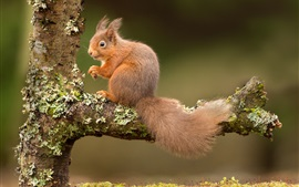 Preview wallpaper Squirrel, tree