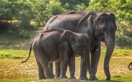 壁紙のプレビュー スリランカ、ヤラ国立公園、ゾウ