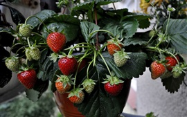 Strawberries, houseplants