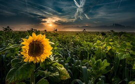 Sunflowers, fields, sunset, clouds