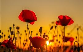 Coucher de soleil, champ de coquelicots, fleurs rouges