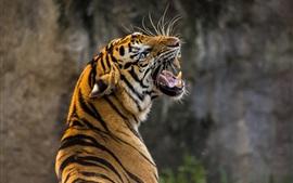 Тигр оглядывается назад, рев, зубы