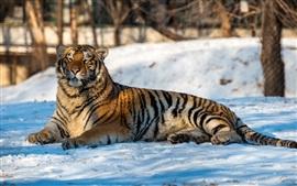 Tigre descansar na neve, inverno