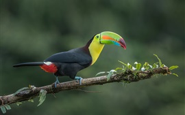 Preview wallpaper Toucan, jungle bird