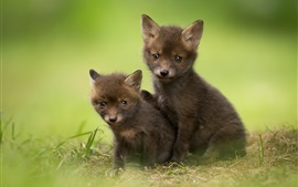 Preview wallpaper Two cute fox cubs
