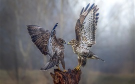 Two falcons dancing, wings opened