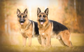 Two shepherd dogs, autumn, bokeh